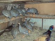 Продам  цесарок,  пуховых кур