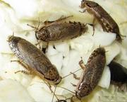 Продам Мраморный таракан (Nauphoeta cinerea)