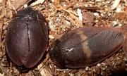 Продам Тараканы капучино (Ergaula capucina)