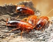 Продам Туркменский таракан -Shelfordella tartara