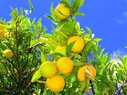 Работа по сбору цитрусовых в Греции