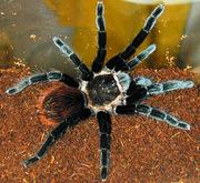 Продам пауки Брахипельма ваганс (Brachypelma vagans)