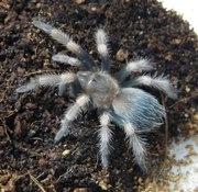 Продам пауки Нанду колоратовилозус (Nhandu coloratovillosus)