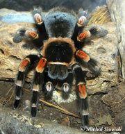 Продам пауки птицееды брахипельма смити (Мексиканский огненно-коленный