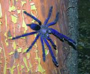 Продам пауки Lampropelma violaceopes (Cyriopagopus sp. Blue )