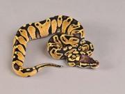 Продам Питоны королевские ( Python regius )