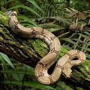 Продам Обыкновенный удав ( Boa constrictor )