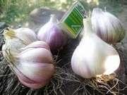Продам чеснок Семена (воздушка) чеснока Новая почта