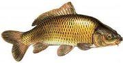 Куплю оптом без посредников свежую или свежемороженую рыбу