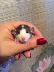 Декоративные крысы-кучеряшки (РЕКС),  с ушками дамбо!