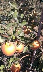 Яблоки с сада