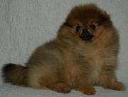Померанский мальчик - комочек радости! 3, 5 месяца,  рыженький, тип мишки