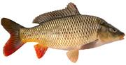 Куплю свежую рыбу,  оптом