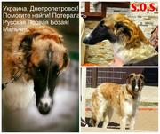 Пропала русская псовая борзая! Днепропетровск!