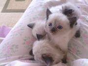 Продам котят Тайской кошки