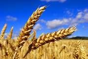 Куплю пшеницу 2, 3, 4, 5 класса. Закупаю пшеницу