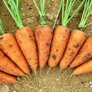 Продам морковь сорта Шантоне