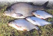 Куплю речную рыбу оптом без посредников. Самовывоз