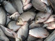 Куплю оптом речную и ставковую рыбу