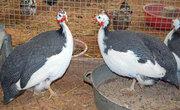 Продам цесарки цыплята