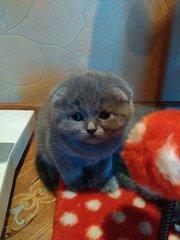 Шотландские плюшевые котята скоттиш-фолд,  скоттиш страйт
