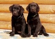 Шоколадные высокопородные щенки Лабрадора!