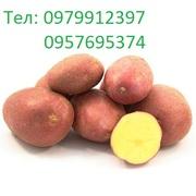 Картофель,  картошка,  домашняя,  сортовая ,