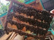 Пчеломатки карпатка. Бджоломатки карпатка