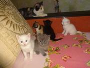 необычные котята от као мани и рагамаффина